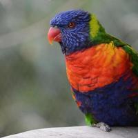 papagaio foto