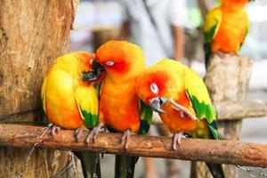 papagaio sunconure foto