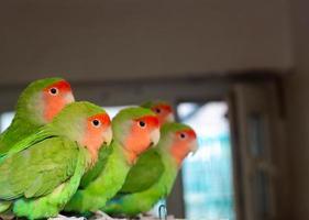 papagaios casal foto
