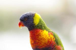 papagaio australiano foto