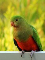 o lindo rei papagaio foto