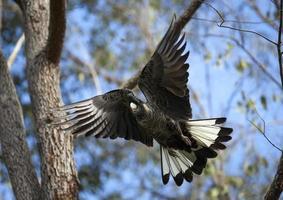 a cacatua preta de cauda branca de carnaby voa. foto