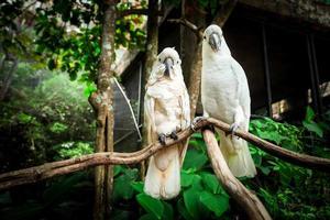 dois pássaros papagaio branco acasalando na madeira do ramo. foto