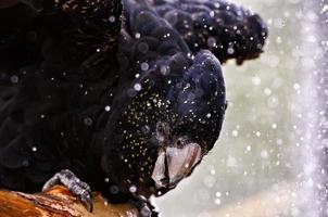cacatua preta de cauda vermelha tomando banho foto