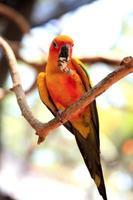 papagaio de conure do sol foto