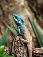 camaleão subindo na madeira foto