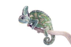 chamaeleo calyptratus - camaleão velado foto