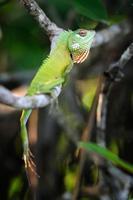 camaleão no galho de árvore foto