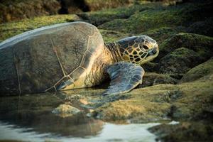 tartaruga deitado sobre rochas em uma piscina de maré foto