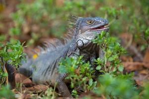 iguana, colômbia foto