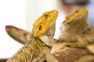 close-up de dragão barbudo. foto