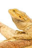 Feche acima do dragão barbudo isolado no branco. foto