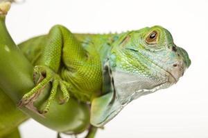 iguana isolada no fundo branco foto