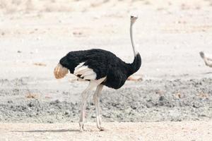 retrato de avestruz