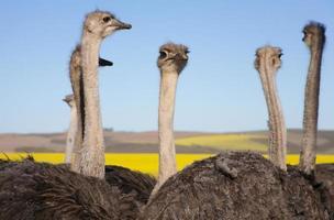 bando de avestruz close-up foto