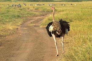 avestruz masculino andando por uma rua foto