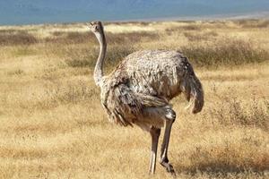 avestruz feminino olhando ao redor foto