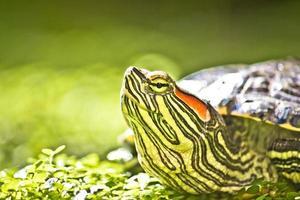 retrato de cabeça de tartaruga em natue