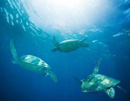 escola de tartarugas marinhas migrando