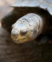 cabeça de tartaruga foto