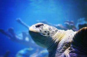 azul e tartaruga foto