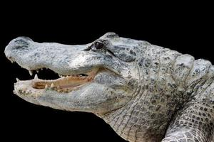 crocodilo com dentes afiados foto