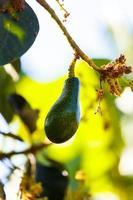 abacate na árvore foto