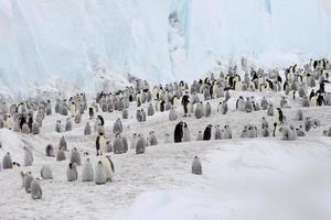 pinguins-imperador no gelo foto
