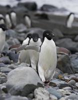 pinguins de adélia foto