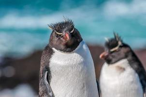 pinguins rockhopper foto