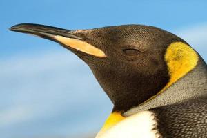 close-up de um pinguim juvenil foto