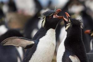 pinguins rockhopper cortejando foto