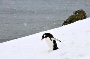 o pingüim gentoo está andando na neve foto