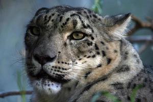 cara de leopardo da neve foto