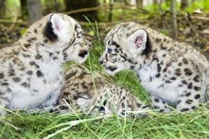 bebês leopardo da neve foto