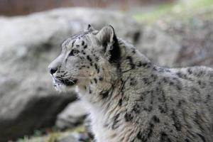 leopardo da neve. foto