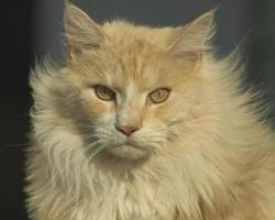 rosto de gato maine coon foto