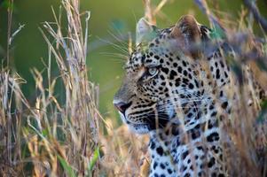 leopardo descansando na grama foto