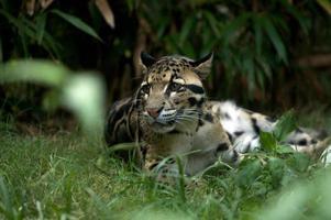 leopardo nublado descansando foto