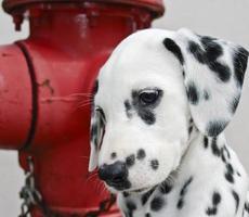 filhote de cachorro dálmata foto