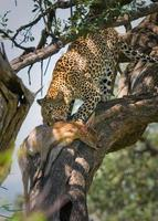 leopardo comendo impala, masai mara, quênia foto