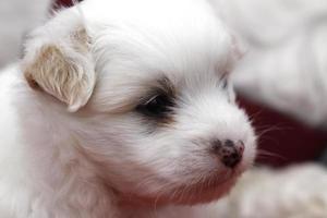 coton de tuléar (filhote de cachorro) foto