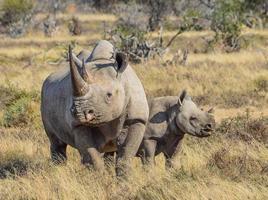 rinoceronte preto e bezerro foto