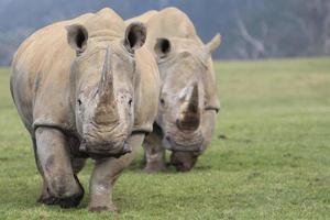 dois rinocerontes brancos caminhando em direção à câmera foto