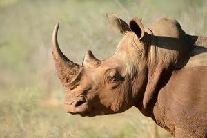 rinoceronte branco vista lateral de três quartos foto