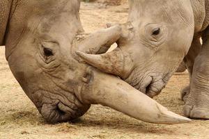 batalha de rinoceronte branco 3 foto