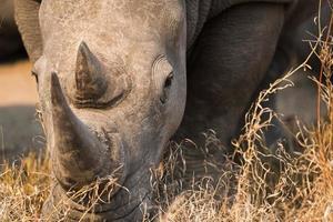 rinoceronte branco foto