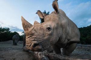 dois rinocerontes brancos estão de pé nesta imagem. foto
