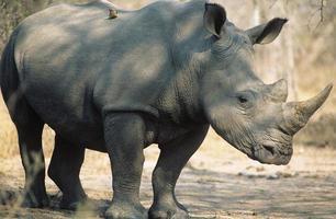 rinoceronte preto (ceratotherium simum) foto