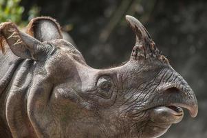 rinoceronte de um chifre maior, rinoceronte indiano (rhinoce ros uni foto